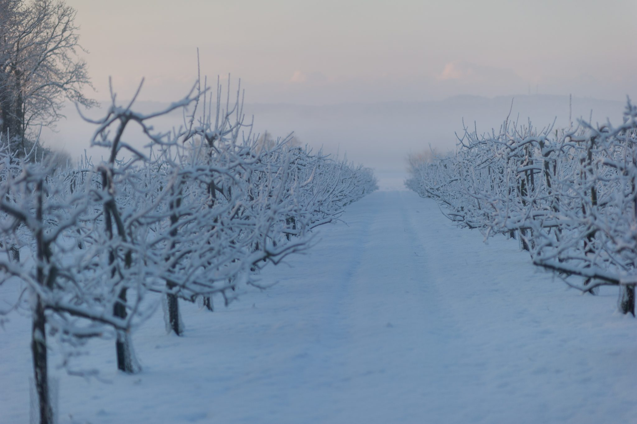 Beast From The East, #snowmaggeden, Tim Hewage Photography, Tonbridge, Kent, rural England, winter wonderland, apple orchards in snow