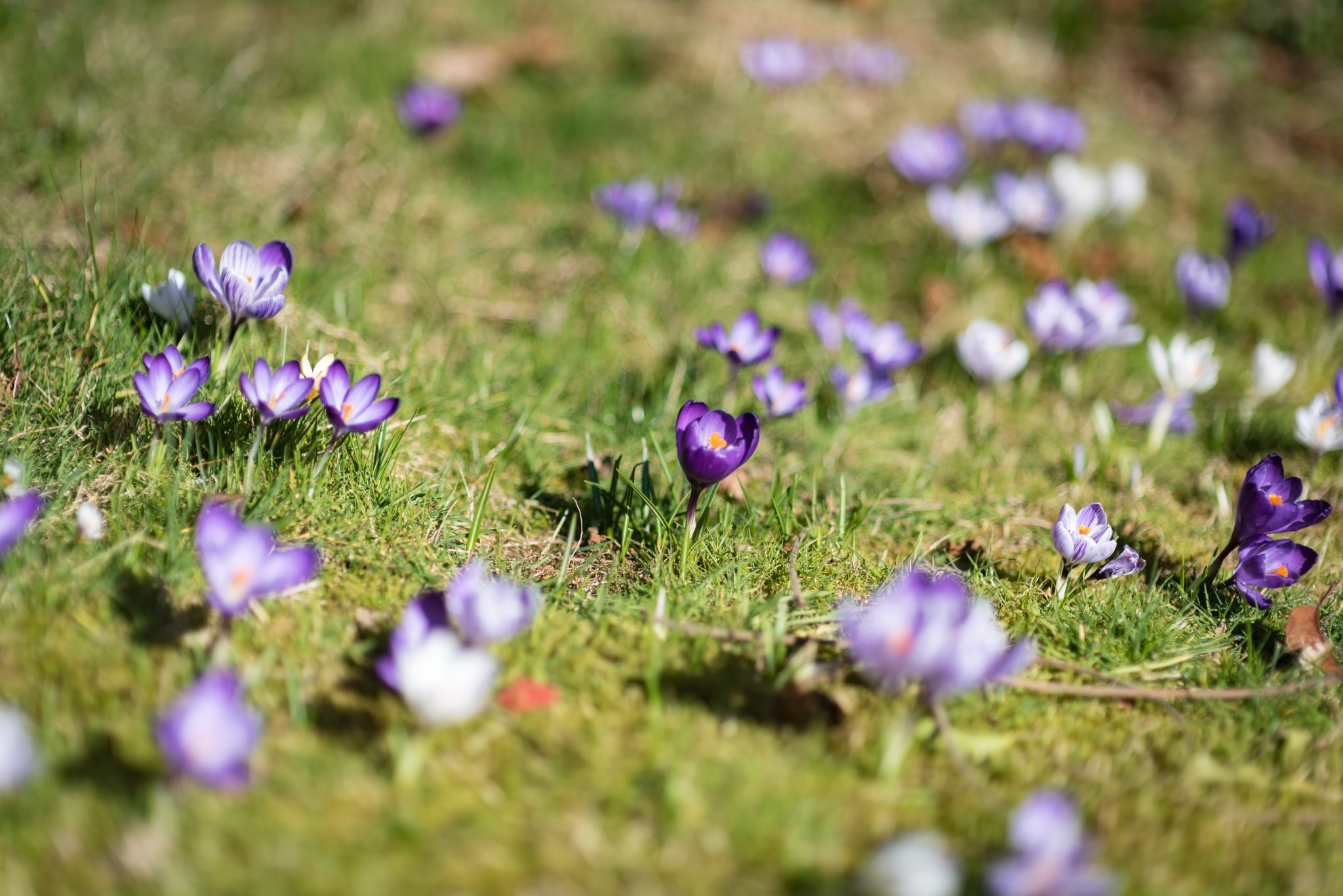 Photograph of crocus flowers growing naturally in a lawn